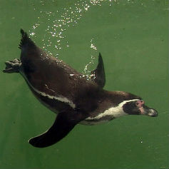 Penguin swimming through water